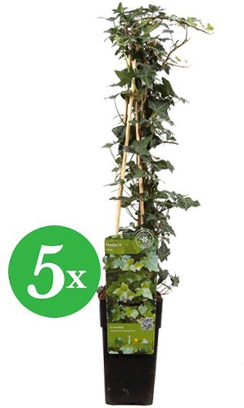 Up Climbers 5x Klimop kleinbladig (Hedera helix) - pakket voor een strekkende meter klimplanten
