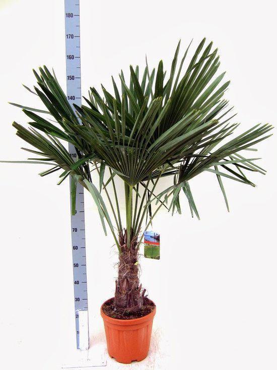 winterharde palmboom trachycarpus fortunei palmboom hoogte 130cm pot 32cm. Black Bedroom Furniture Sets. Home Design Ideas