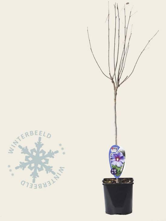 Hibiscus syriacus 'Oiseau Blue' - 50 cm stam