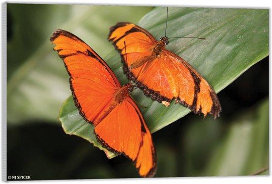 Plexiglas – Twee Oranje Vlinders– 120x80 (Wanddecoratie op Plexiglas)