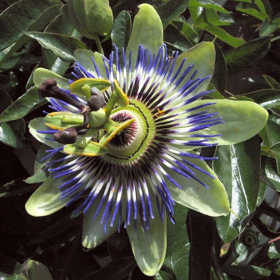 Klimplant - Passiflora caerulea - Blauw - Hoogte 65cm - Doorsnede pot 15cm