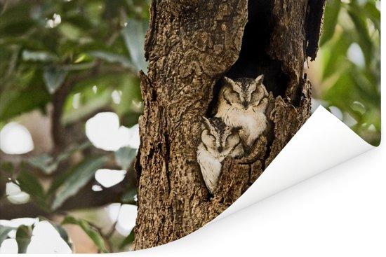Twee Indische dwergooruilen in een boomstam Poster 30x20 cm - klein - Foto print op Poster (wanddecoratie woonkamer / slaapkamer)