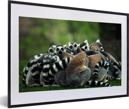 Foto in lijst - Veel Ringstaartmaki's rusten bij elkaar uit fotolijst zwart met witte passe-partout 60x40 cm - Poster in lijst (Wanddecoratie woonkamer / slaapkamer)
