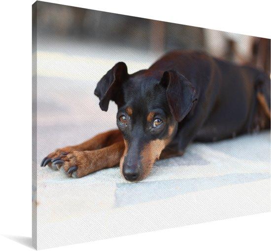 Zwart met bruine Dwergpinscher ligt voor de deur Canvas 30x20 cm - klein - Foto print op Canvas schilderij (Wanddecoratie woonkamer / slaapkamer) / Huisdieren Canvas Schilderijen