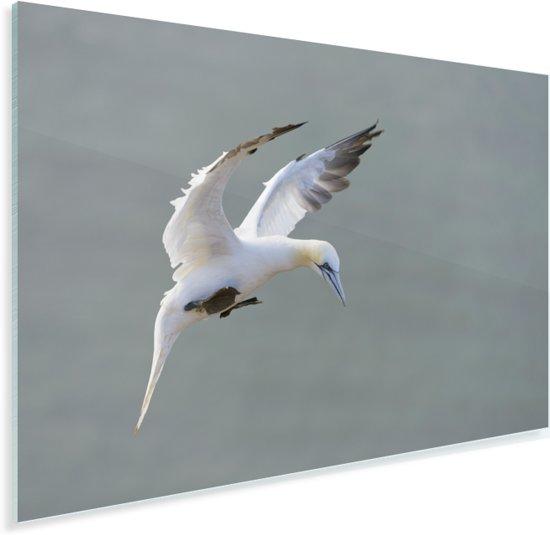 Jan-van-gent tijdens de landing Plexiglas 60x40 cm - Foto print op Glas (Plexiglas wanddecoratie)