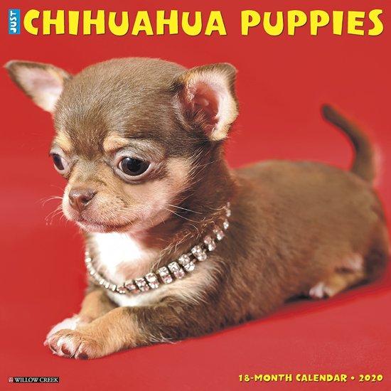 Chihuahua Puppies Kalender 2020
