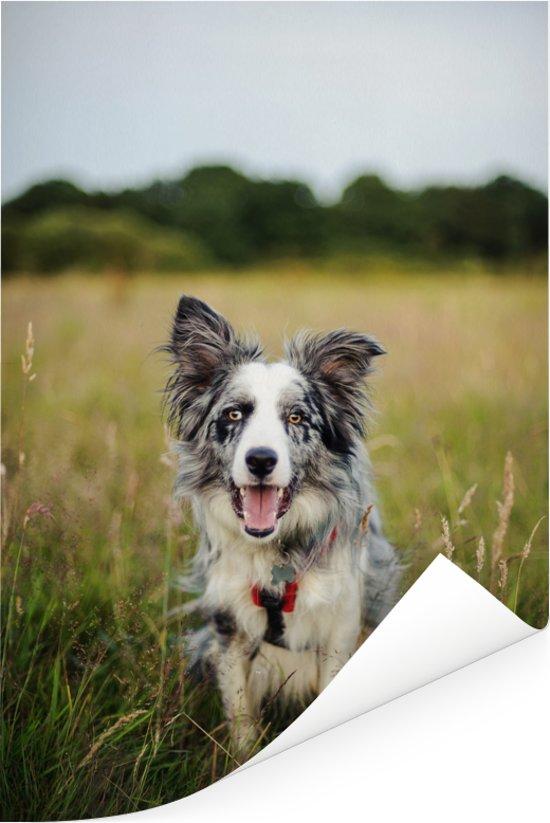 Border Collie hond liggend in het mooie gras Poster 20x30 cm - klein - Foto print op Poster (wanddecoratie woonkamer / slaapkamer) / Huisdieren Poster