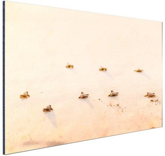 Baby schildpadden  Aluminium 120x80 cm - Foto print op Aluminium (metaal wanddecoratie)