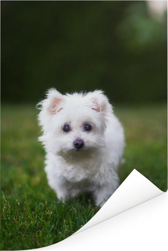 Maltezer hond op een grasveld Poster 120x180 cm - Foto print op Poster (wanddecoratie woonkamer / slaapkamer) / Huisdieren Poster XXL / Groot formaat!