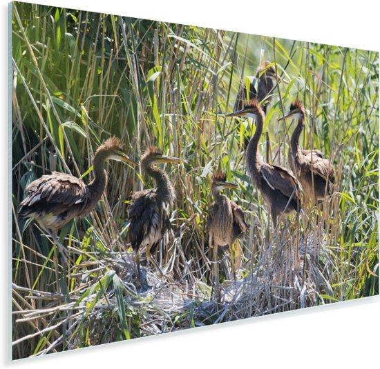 Jonge purperreigers in hun nest Plexiglas 90x60 cm - Foto print op Glas (Plexiglas wanddecoratie)