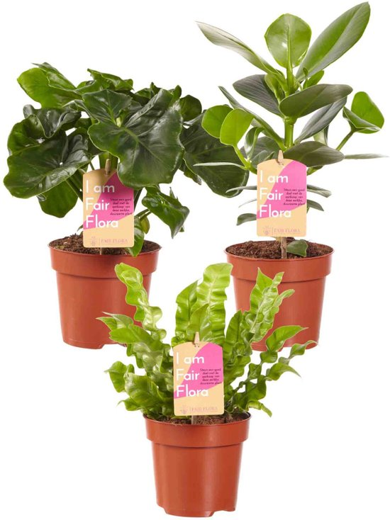 Luchtzuiverende mix Planten ( 3 Stuks )  Clusia Princess - Asplenium Crispy Wave - Philodendron Atom