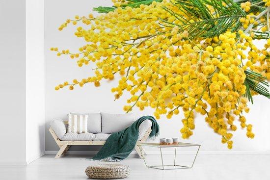 Fotobehang vinyl - Veel mimosa planten op een witte achtergrond breedte 420 cm x hoogte 280 cm - Foto print op behang (in 7 formaten beschikbaar)