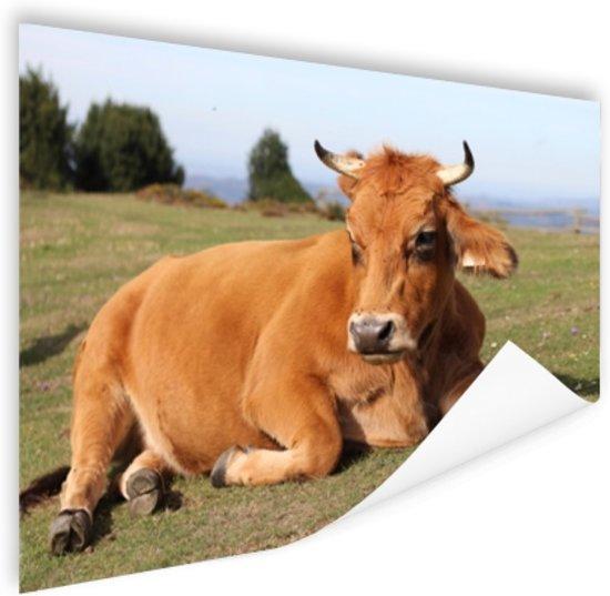 Rustende koe met horens Poster 90x60 cm - Foto print op Poster (wanddecoratie woonkamer / slaapkamer) / Dieren Poster