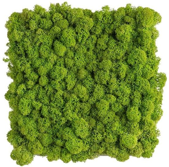 reindeer moss picture 22 x 22 CM voorjaar