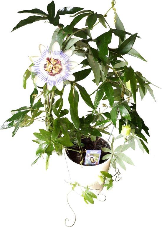 Passiebloem Klimplant Met Sier Overpot