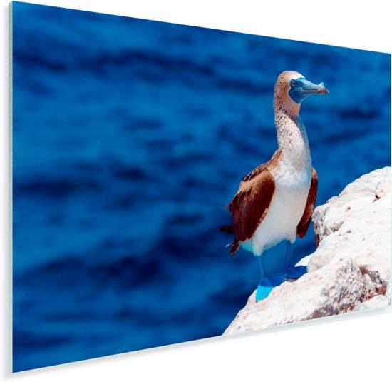 Blauwvoetgent met op de achtergrond een blauwe zee Plexiglas 90x60 cm - Foto print op Glas (Plexiglas wanddecoratie)