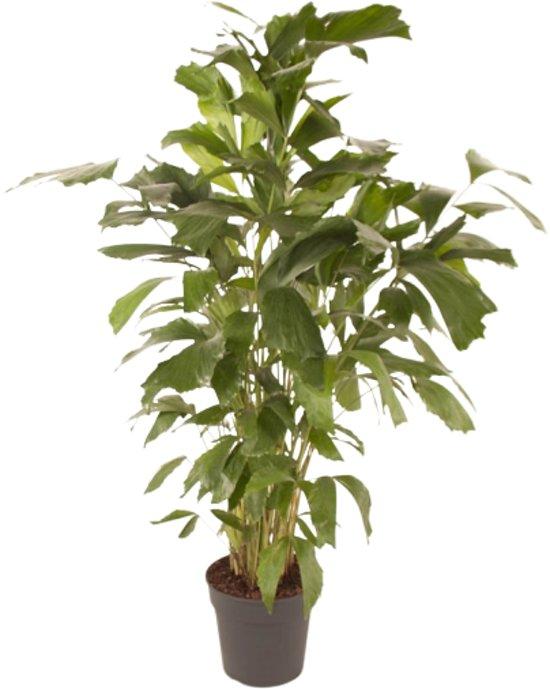 Caryota mitis (Pot 27 cm - 150 cm)