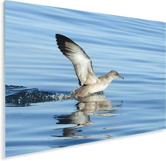 Vale pijlstormvogel vliegt uit het water Plexiglas 160x120 cm - Foto print op Glas (Plexiglas wanddecoratie) XXL / Groot formaat!
