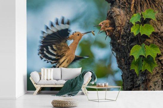 Fotobehang vinyl - Een hop voedt zijn jongeren die in het nest zitten breedte 420 cm x hoogte 280 cm - Foto print op behang (in 7 formaten beschikbaar)