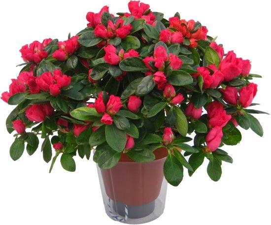 Azalea indica rood met waterwiek