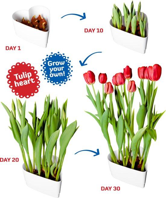 Tulpen hart rood (Love)