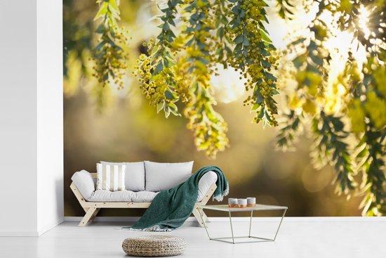 Fotobehang vinyl - Close up van gele acacia bloemen in zonlicht breedte 420 cm x hoogte 280 cm - Foto print op behang (in 7 formaten beschikbaar)