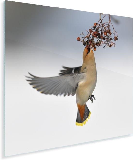 Vliegende pestvogel eet besjes Plexiglas 90x90 cm - Foto print op Glas (Plexiglas wanddecoratie)