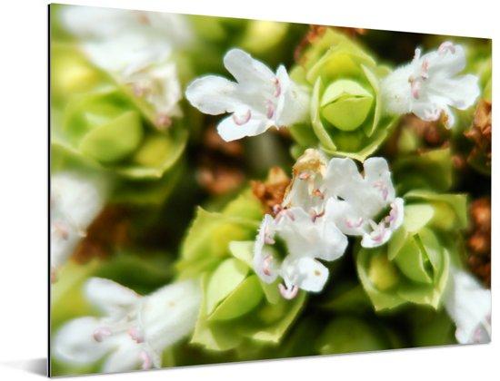 Close up van de witte bloemen van het worstkruid Aluminium 160x120 cm - Foto print op Aluminium (metaal wanddecoratie) XXL / Groot formaat!