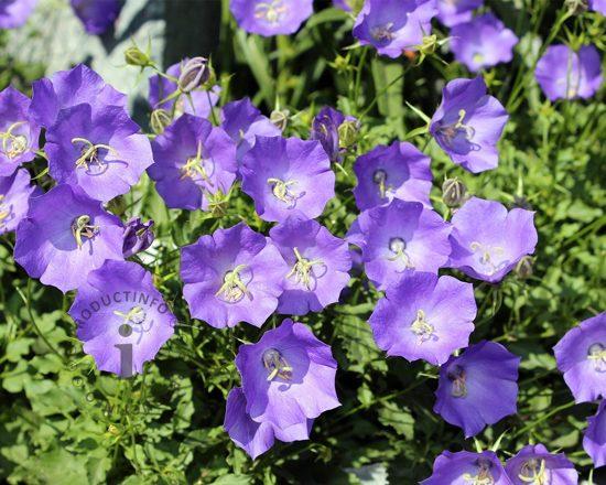 Campanula carpatica 'Blaue Clips'