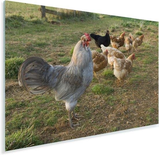 Haan tussen de kippen in het gras Plexiglas 90x60 cm - Foto print op Glas (Plexiglas wanddecoratie)