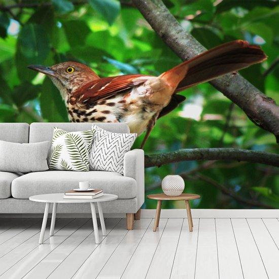 Fotobehang vinyl - Rosse spotlijster is klaar om weg te vliegen breedte 335 cm x hoogte 250 cm - Foto print op behang (in 7 formaten beschikbaar)