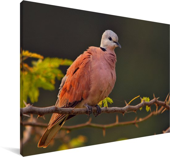Een rode tortelduif op een takje Canvas 60x40 cm - Foto print op Canvas schilderij (Wanddecoratie woonkamer / slaapkamer)