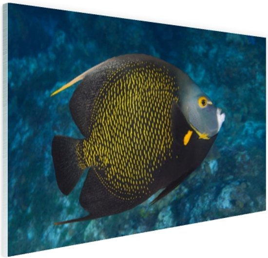 Franse hoekvissen op tropisch koraalrif Glas 90x60 cm - Foto print op Glas (Plexiglas wanddecoratie)