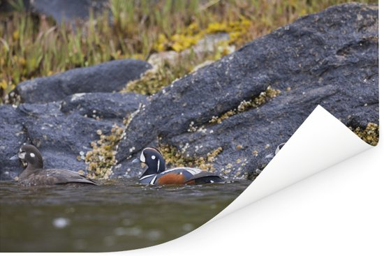 Drie zwemmende harlekijneenden in Canada Poster 180x120 cm - Foto print op Poster (wanddecoratie woonkamer / slaapkamer) XXL / Groot formaat!