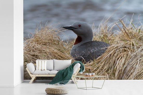 Fotobehang vinyl - Red-throated duiker op haar nest breedte 360 cm x hoogte 240 cm - Foto print op behang (in 7 formaten beschikbaar)