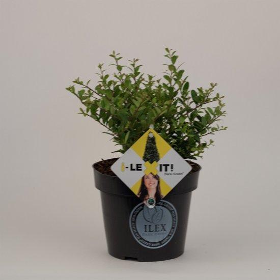 8 Ilex crenata 'Dark Green'® (15/+ cm P15)