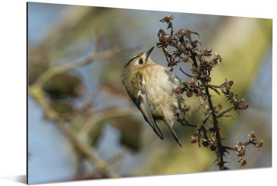 Eenzaam goudhaan vogeltje op een bruine tak Aluminium 180x120 cm - Foto print op Aluminium (metaal wanddecoratie) XXL / Groot formaat!