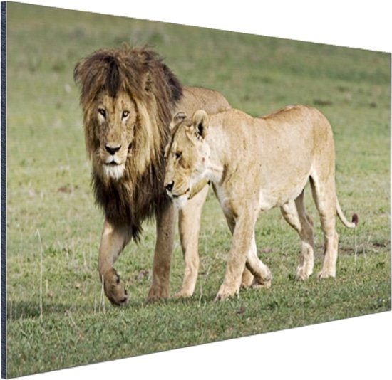 Leeuwenpaar Aluminium 30x20 cm - klein - Foto print op Aluminium (metaal wanddecoratie)