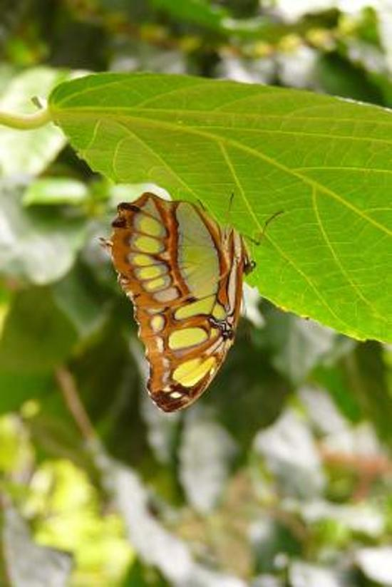 A Malachite Butterfly (Siproeta Stelenes) Journal