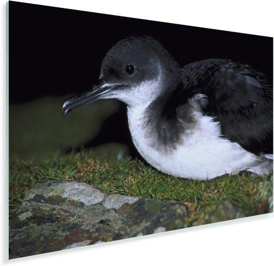 Close-up van een Noordse pijlstormvogel Plexiglas 30x20 cm - klein - Foto print op Glas (Plexiglas wanddecoratie)