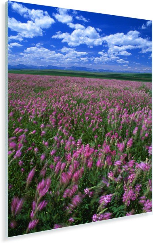 Alfalfagebied die in de zomer bloeien Plexiglas 80x120 cm - Foto print op Glas (Plexiglas wanddecoratie)