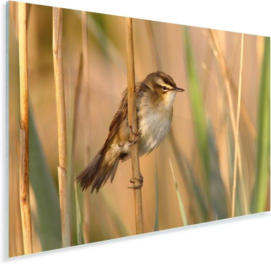 Mooie graszanger zit op riet Plexiglas 180x120 cm - Foto print op Glas (Plexiglas wanddecoratie) XXL / Groot formaat!