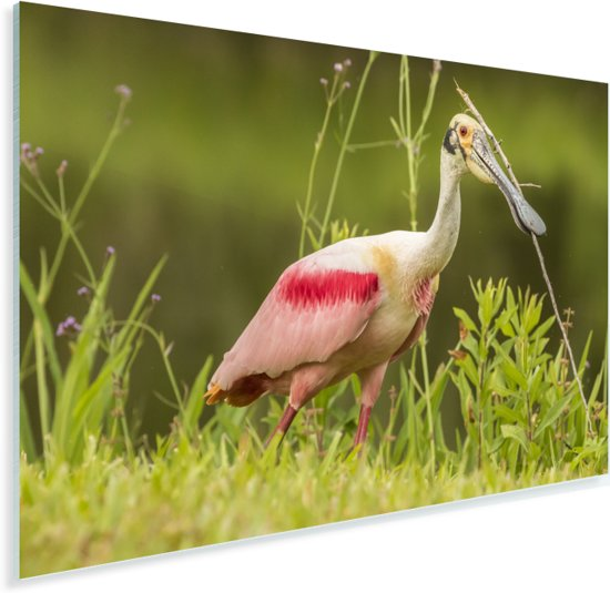 Roze lepelaar in het hoge gras Plexiglas 90x60 cm - Foto print op Glas (Plexiglas wanddecoratie)