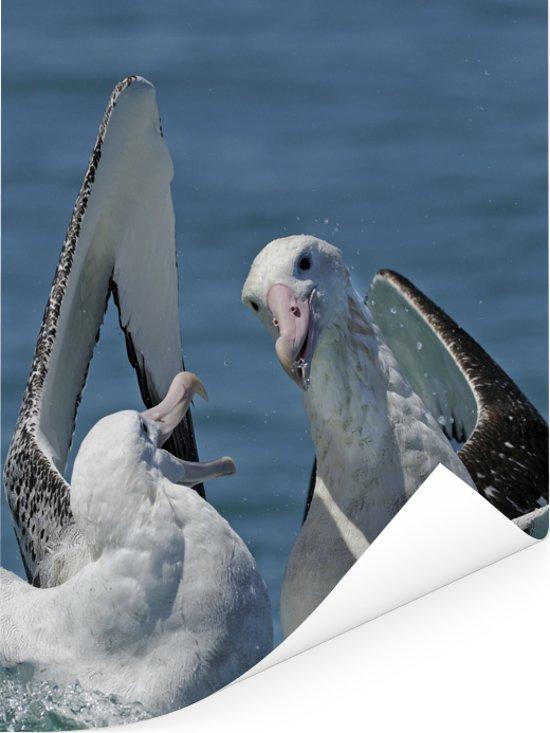 Reuzenalbatrossen vechten om een pijlinktvis Poster 120x160 cm - Foto print op Poster (wanddecoratie woonkamer / slaapkamer) XXL / Groot formaat!
