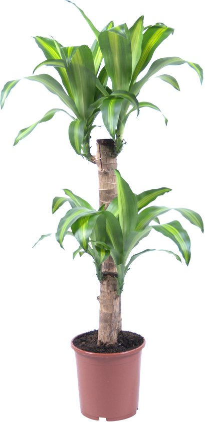 dracaena fragrans massangeana 60 30 2 kop 95cm. Black Bedroom Furniture Sets. Home Design Ideas
