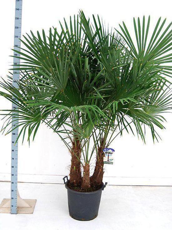 palmbomen tuin en balkonplant trachycarpus fortunei doorsnede pot 50cm hoogte. Black Bedroom Furniture Sets. Home Design Ideas