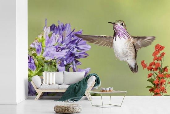 Fotobehang vinyl - Een calliope kolibrie tussen twee bloemen breedte 450 cm x hoogte 300 cm - Foto print op behang (in 7 formaten beschikbaar)