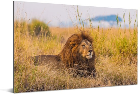 Mannetjes leeuw tussen het gras hoge gras in het Nationaal park Serengeti Aluminium 30x20 cm - klein - Foto print op Aluminium (metaal wanddecoratie)
