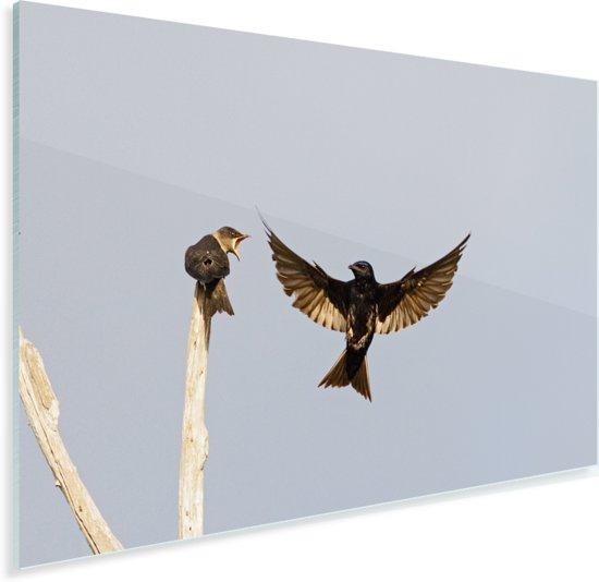 Huiszwaluw spreidt zijn vleugels uit tijdens de vlucht Plexiglas 180x120 cm - Foto print op Glas (Plexiglas wanddecoratie) XXL / Groot formaat!