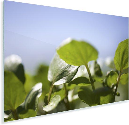 Close up van de witte waterkers bladeren tegen een strakblauwe hemel Plexiglas 90x60 cm - Foto print op Glas (Plexiglas wanddecoratie)